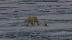 Slow motion - polar bear and cub on melting sea ice near arctic night Stock Footage