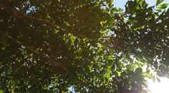 Sunlight peering through the leaves of a green tree Stock Footage