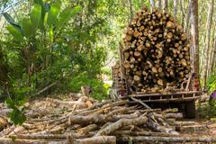 Rubber tree forestry Stock Photos
