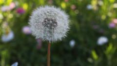 Spring Dandelion In The Garden1 Stock Footage