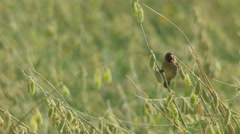 Scaly-breasted Munia standing alone Stock Footage