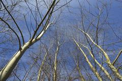 Stock Photo of Looking up at Bare Deciduous Treetops, Freudenberg, Main-Tauber-District,