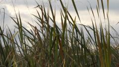 Reeds by the river 3 Stock Footage