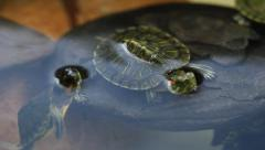 Turtle On A Rock 3. - stock footage