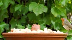 European robin landing on dish Stock Footage