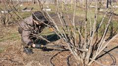 Senior elderly man gardener prunes bushes twigs Stock Footage
