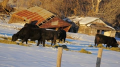 Cattle eating hay in winter Stock Footage