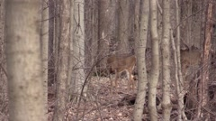 Two whitetail bucks one antler Stock Footage