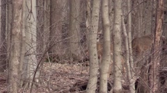 Two whitetail buck with one antler missing nature forest wildlife - stock footage