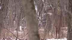 Two does in winter forest whitetail deer - stock footage