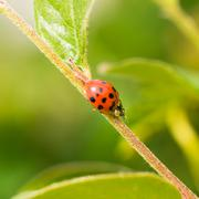 Lady Bug Eating Aphid - stock photo