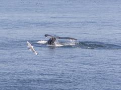 Humpback Whale Flukes Heading Down Stock Photos