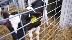 Calf nursery inside dairy farm cow. - stock footage