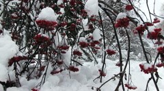 Snowy Bunches Of Red Rowan Stock Footage