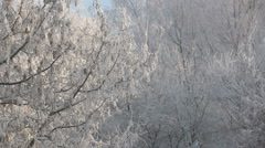 Wintertime. View of frosted maple sways in wind Stock Footage