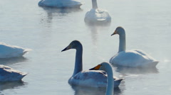 swan-familiy in winter on the lake - stock footage