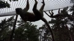 Hanging Monkeys Stock Footage