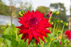 Dahlia tahoma tom tom semi-cactus colourful flower red in colour in a garden - stock photo