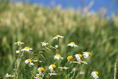 White chamomile flower spring season Stock Photos
