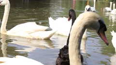 White and black swans swim in the pond in the Safari World. Bangkok, Thailand Stock Footage