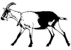 Goat from Profile View - stock illustration
