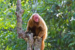 Red Baldheaded Uakari also known as British Monkey Cacajao calvus rubicundus Stock Photos
