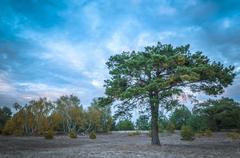 Stock Photo of Heathland with Scots pine Pinus sylvestris tree Reicherskreuzer Heide und