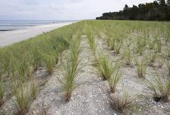 Planting of beach grass Ammophila arenaria on dune on the beach Prerow Baltic Stock Photos