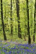 Common bluebell Hyacinthoides nonscripta in the deciduous forest Germany - stock photo