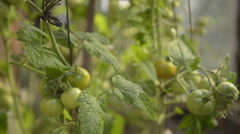 Green tomatoes in old greenhouse - stock footage
