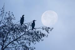Two cormorants Phalacrocorax carbo on a hazel tree Corylus avellana at full Stock Photos