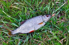 Fish roach (Rutilus rutilus) lies on the grass close up - stock photo