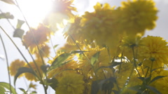 Yellow flowers in sunlight Stock Footage