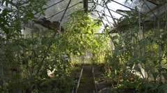 Old greenhouse and reddish tomatoes - stock footage