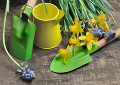 gardening tools and narcissus - stock photo