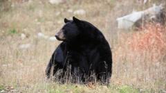 Large black bear Stock Footage