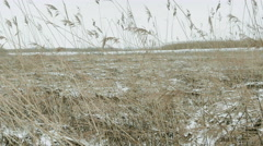 Winter landscape. Snowy field, reed in a swamp covered with frost. Stock Footage