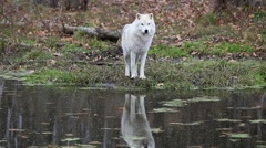 Arctic Wolf in the fall Stock Footage
