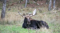 Resting Bull Moose Stock Footage