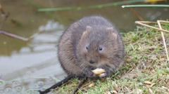 4K Footage of a Water Vole Eating on a Bank Stock Footage