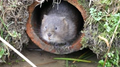 4K Water Vole Looking out of a Drain Pipe Stock Footage