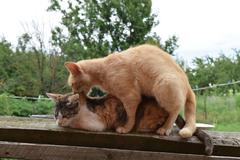 Mating domestic cats - stock photo