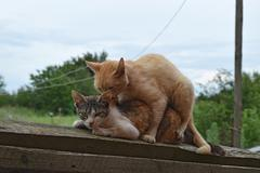 Mating domestic cats Stock Photos