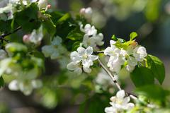 Blooming twigs in spring. - stock photo