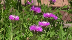 Pink flowers at a sunny day Stock Footage