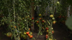 Reddish tomatoes in greenhouse - stock footage