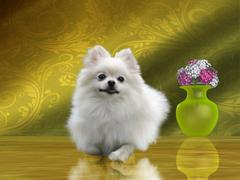 Pomeranian Dog Stock Illustration
