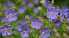 Violet flowers in summer Stock Footage