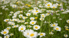 Summer Morning Over Chamomile Field Stock Footage