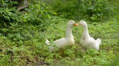 Domestic ducks in garden Stock Footage